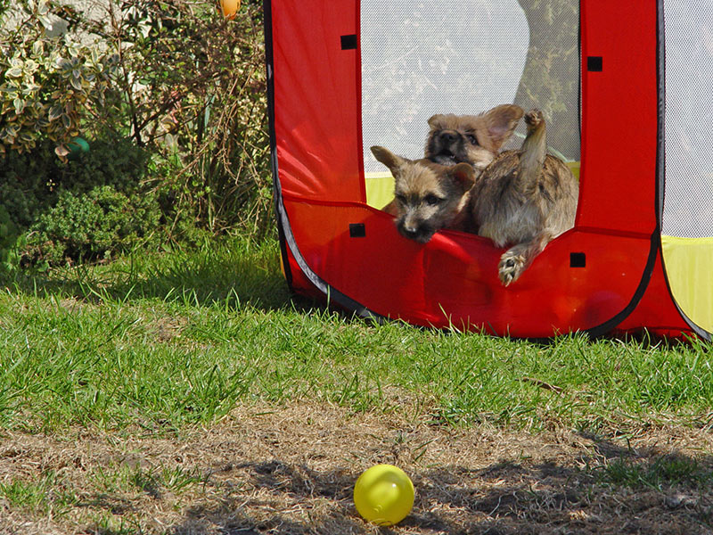 Bällebad für Welpen - hier im Cairn Terrier-Zwinger of Barnsley
