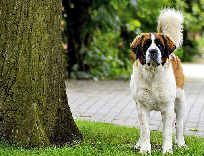 Hüftgelenksdysplasie HD beim Hund