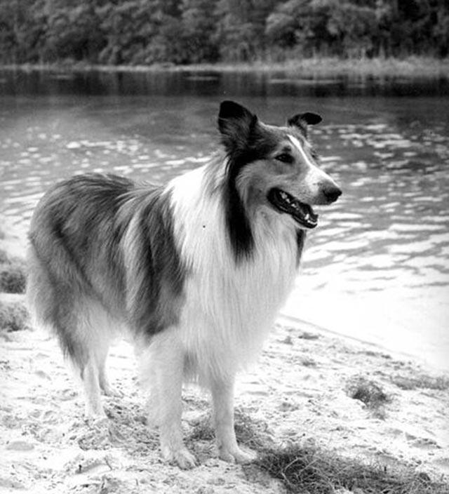 lassie-wik