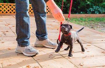 Lob und positive Verstärkung lassen den kleinen Staffordshire Terrier schneller lernen. © Staffordshire Bull Terrier Welpe beim Leinentraining , Cbckchristine | Dreamstime.com