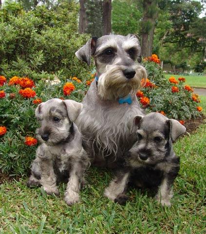 Genetik des Hundes in der Praxis: Zwergschnauzerwurf