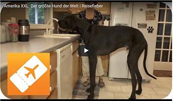 Der größte Hund der Welt - Deutsche Dogge Zeus