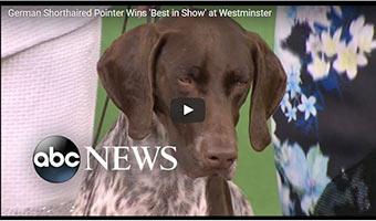 Deutsch Kurzhaar Sieger auf der Westminster Kennel Club Dog Show