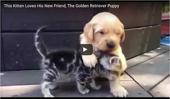 Golden Retriever– Baby liebt Kitten