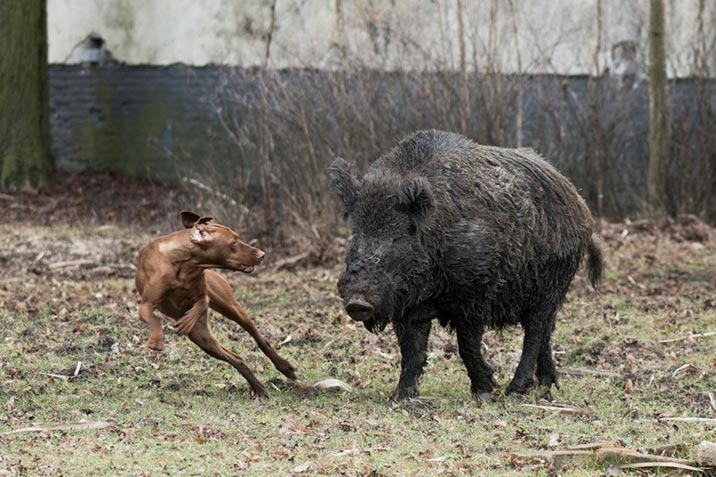 Wildschwein-Angriff auf den Hund