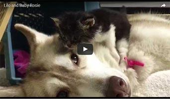Sibirischer Husky - Ersatzmama für Katzenbaby