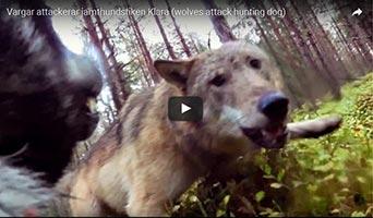 Hund im Wald von Wölfen attackiert