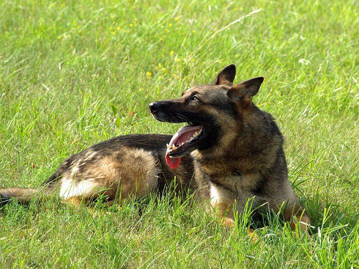 Wie schützt man Hunde vor der Hitze?