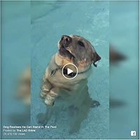 Labrador Retriever im Pool