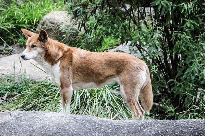 Australische Dingos jagen Ziegen