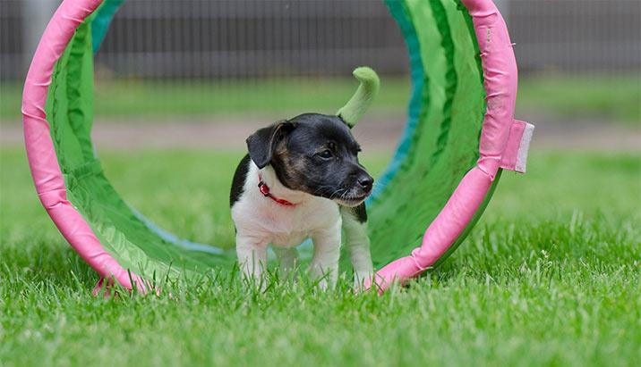 Jack Russel - Hundetunnel