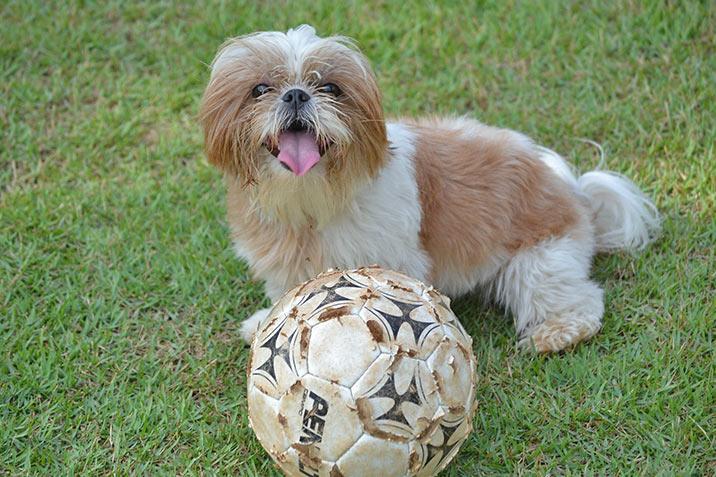 Shi Tzu - Hundesport