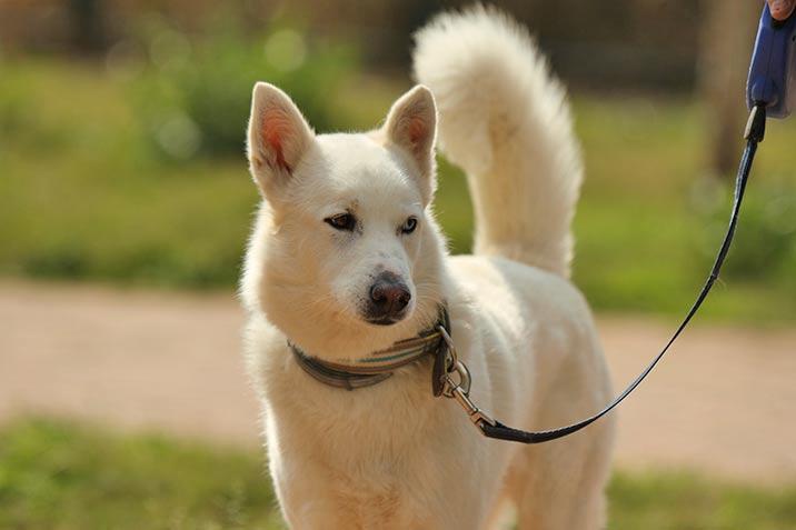 Spaziergang mit Siberian Husky