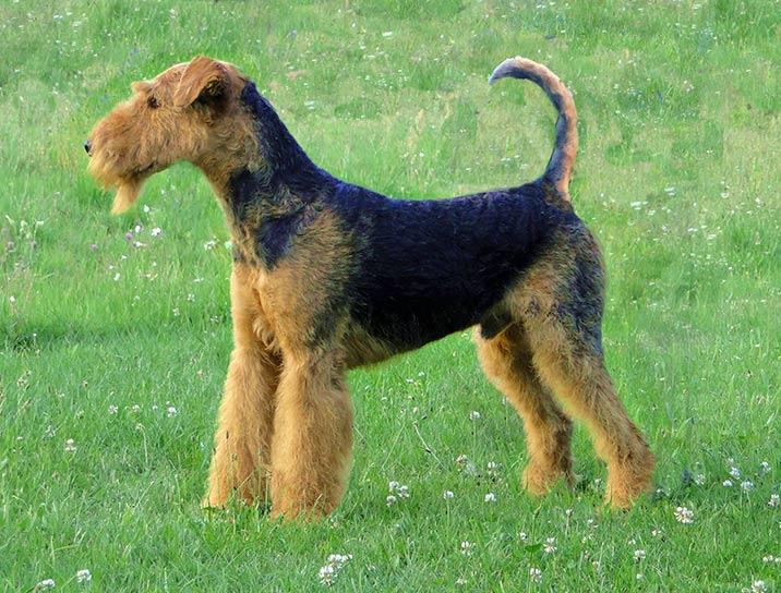 Airedale Terrier - Portrait