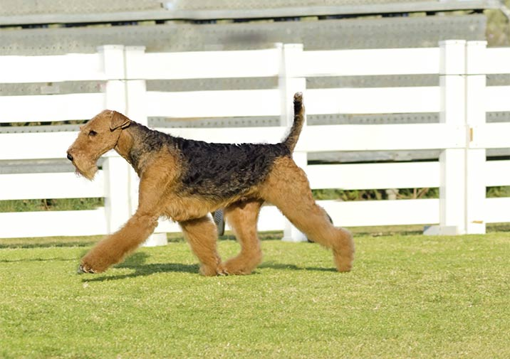 Airedale Terrier im Garten