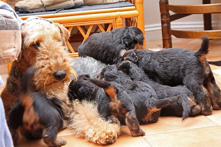Airedale Terrier - Welpenkauf